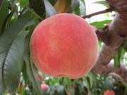 桃のイメージ画像2