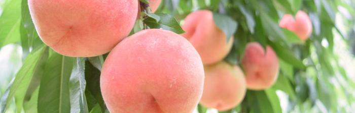 桃のイメージ画像