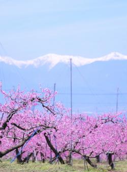 樋口桃園 桃畑