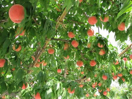 樋口桃園の桃畑の様子