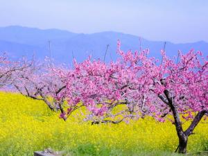 桃の花と菜の花の写真