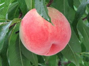 桃が実っている写真