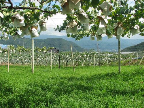 山梨県牧丘町の深沢農園の巨峰畑