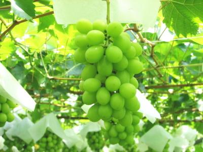 中澤農園のシャインマスカット