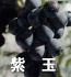 紫玉(ぶどうの品種)