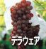 デラウエア(ぶどうの品種)
